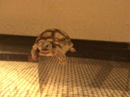 My new baby sulcata! by cowsrule101