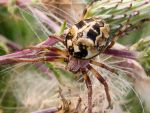 Orb Spider 7 by iriscup