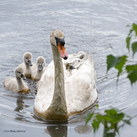 Mute swan mom by Mogrianne