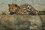 Baby Amur leopard by amrodel