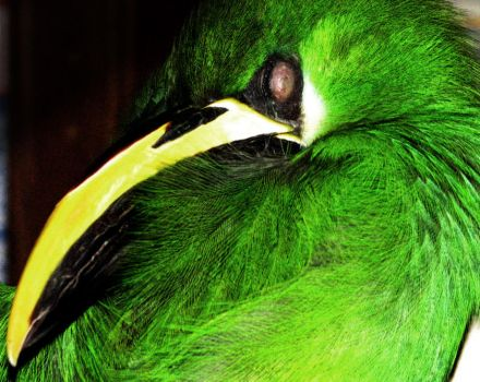 emerald toucanet sleeping by Bennett-Burks