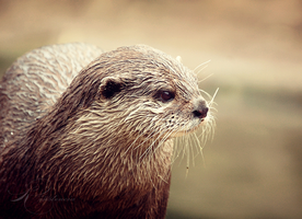 Otter Portrait by Lady-Tori