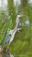 Great Blue Heron No. 2 by Katastrophey