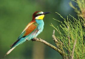 Bee-eater by abrec