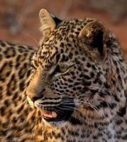 That young leopard by psychostange