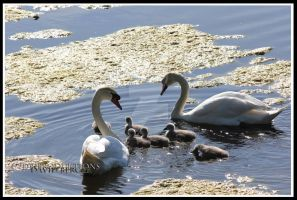 Family Swan by DB-produktions