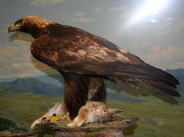 Denver Museum Golden Eagle 448 by Falln-Stock