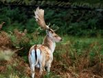 Fallow Deer Stag by Jeff59