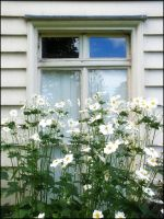 White window flowers by pinkal00
