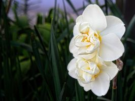 narcissus by Paul774