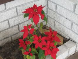 222 Poinsettia by crazygardener
