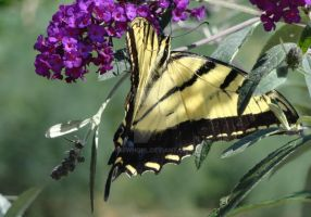 Swallowtail Butterfly by timewhorl
