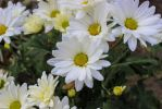 White daisy's by alucard214