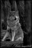 Sitting Wolf bw by Wodenswolf