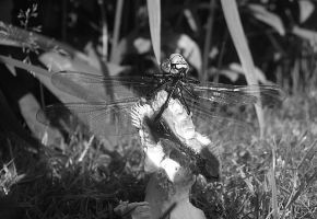 Dragonfly suntan . by velar1