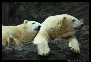 Polar Bears: Snuggle by TVD-Photography