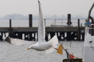 Seagull in flight moewe by archaeopteryx-stocks