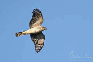 Accipiter by mydigitalmind