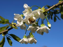 Cherry Blossom with Busy Bee by sandor99