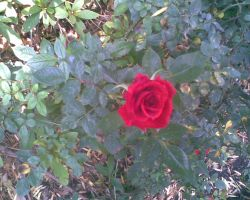 Red Rose by LeRosaVare