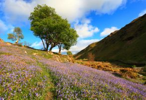 Bluebells by scotto