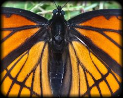 Viceroy butterfly by sherln