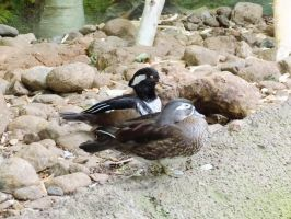 Hooded Merganser and Wood Duck by Kitteh-Pawz