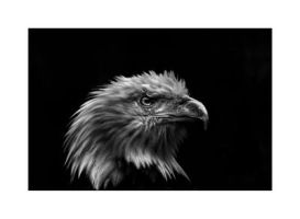 Bald Eagle B+W by Dr-Koesters