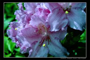 Rhododendron by truetoform