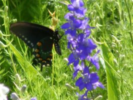 Butterfly on larkspur3 by grlgeorge