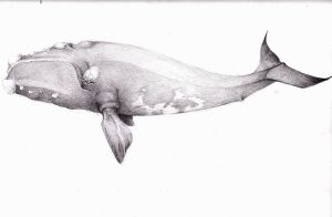 North Atlantic right whale by eris212