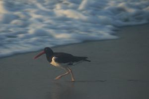 American oystercatcher by Laur720