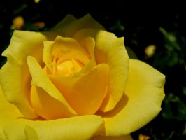 Yellow Rose by MadeleineAlana