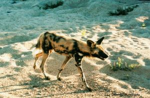 African Wild Dog 1 by Okavanga