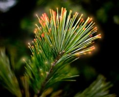 Glowing pine by Tyler007