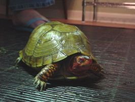 Turtle 4 by animalstock