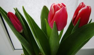 Tulips -01 by blue-crystall