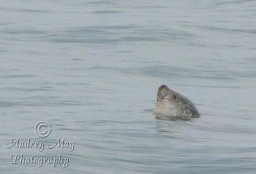Seal Relaxing by AudreyMayPhotography