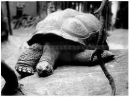. tortoise wanna be by analuz