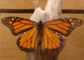 Male Monarch Butterfly by FantasyStock