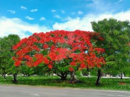 The Royal Poinciana. by Henry V. 2012 by HenryValdROCKS