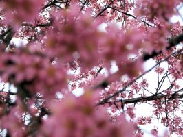 Attack of the cherry blossoms by Noseneighbor