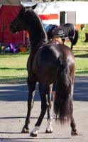 STOCK - 2014 Andalusian Nationals-14 by fillyrox