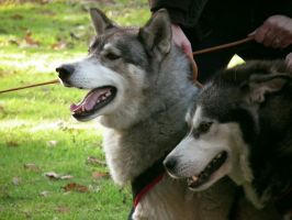 huskies at wray castle 2 by harrietbaxter