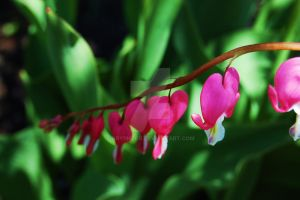 Bleeding Hearts by Gryphtor