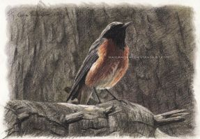 Common Redstart - tinted charcoal by makangeni