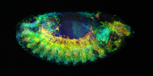 Drosophila embryo by molecularlight