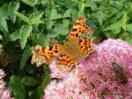 Comma, Bee and Sedum on Campus by SrTw