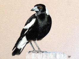 Australian Magpie in pastel by SteveHargreaves