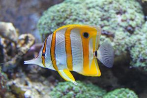 Copperband butterflyfish (Chelmon rostratus) by BetaDraconis